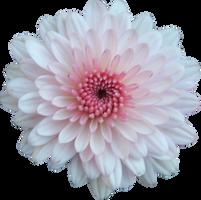 Pink and White Mum by Thy-Darkest-Hour