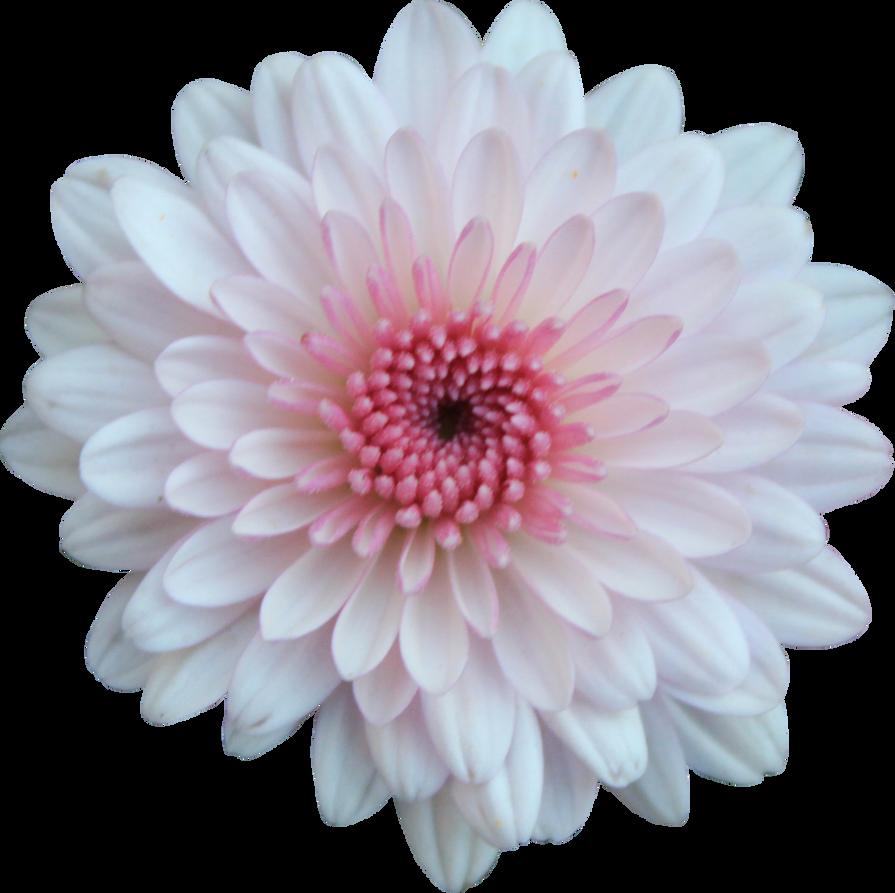 Pink And White Mum By Thy Darkest Hour On Deviantart