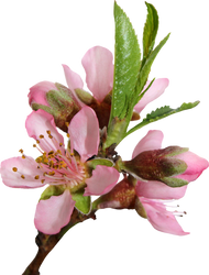 Peach Blossom 02