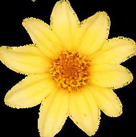 Yellow Small Zinnia by Thy-Darkest-Hour
