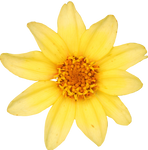 Yellow Small Zinnia