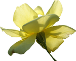 Yellow Rose 01 PNG