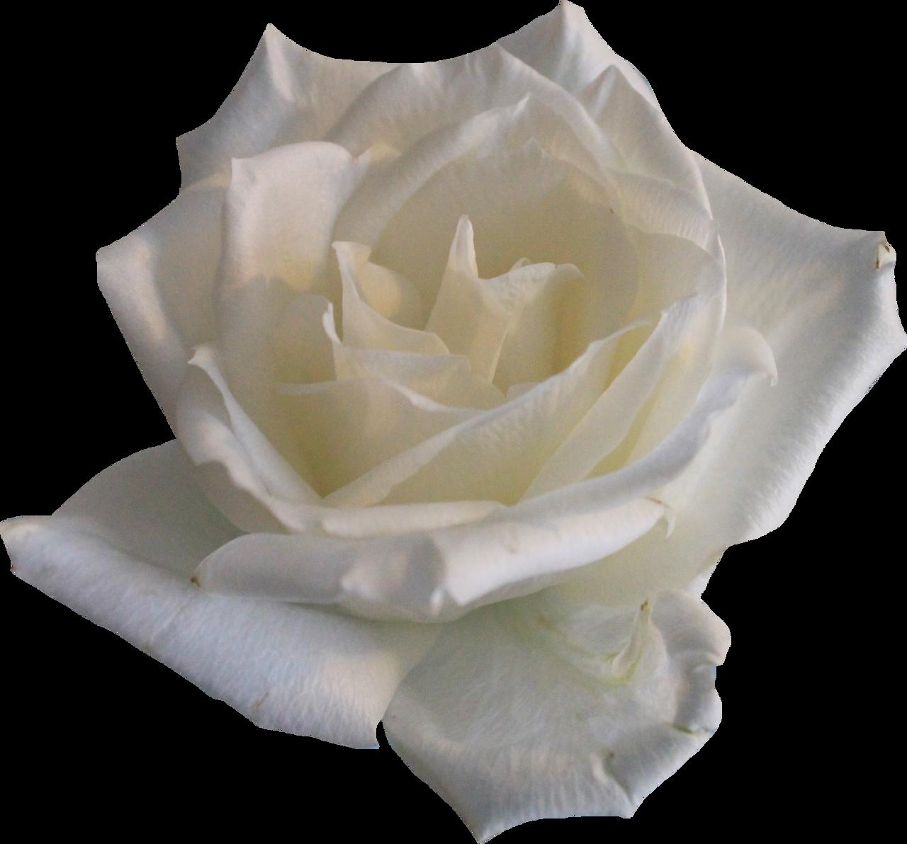 White Rose 02 PNG by Thy-Darkest-Hour on DeviantArt