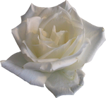 White Rose 02 PNG
