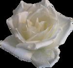 White Rose 02 PNG