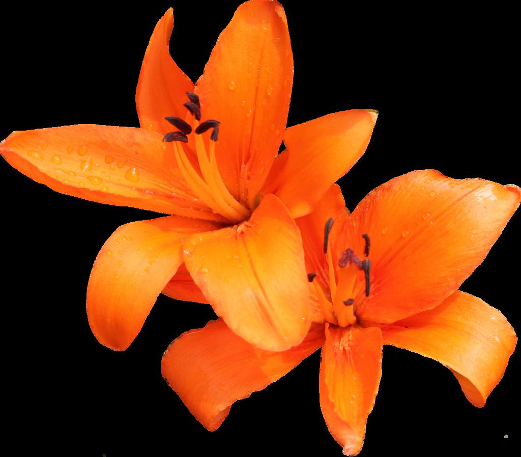 Orange Lilly 02 by Thy-Darkest-Hour on DeviantArt