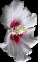 Pink Hibiscus Flower 01 by Thy-Darkest-Hour