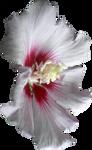 Pink Hibiscus Flower 01