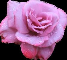 Lavendar Rose 02 PNG by Thy-Darkest-Hour