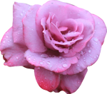 Lavendar Rose 02 PNG