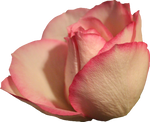 Pale Pink Rose 01 PNG