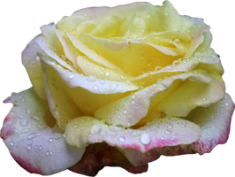 Pink and Yellow Rose PNG 01 by Thy-Darkest-Hour