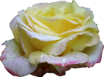 Pink and Yellow Rose PNG 01