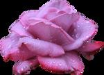 Lavendar Rose 01 PNG