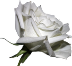 White Rose 01 PNG