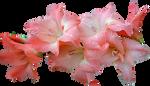 Pink Gladolia 01