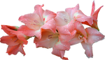 Pink Gladolia 01 by Thy-Darkest-Hour