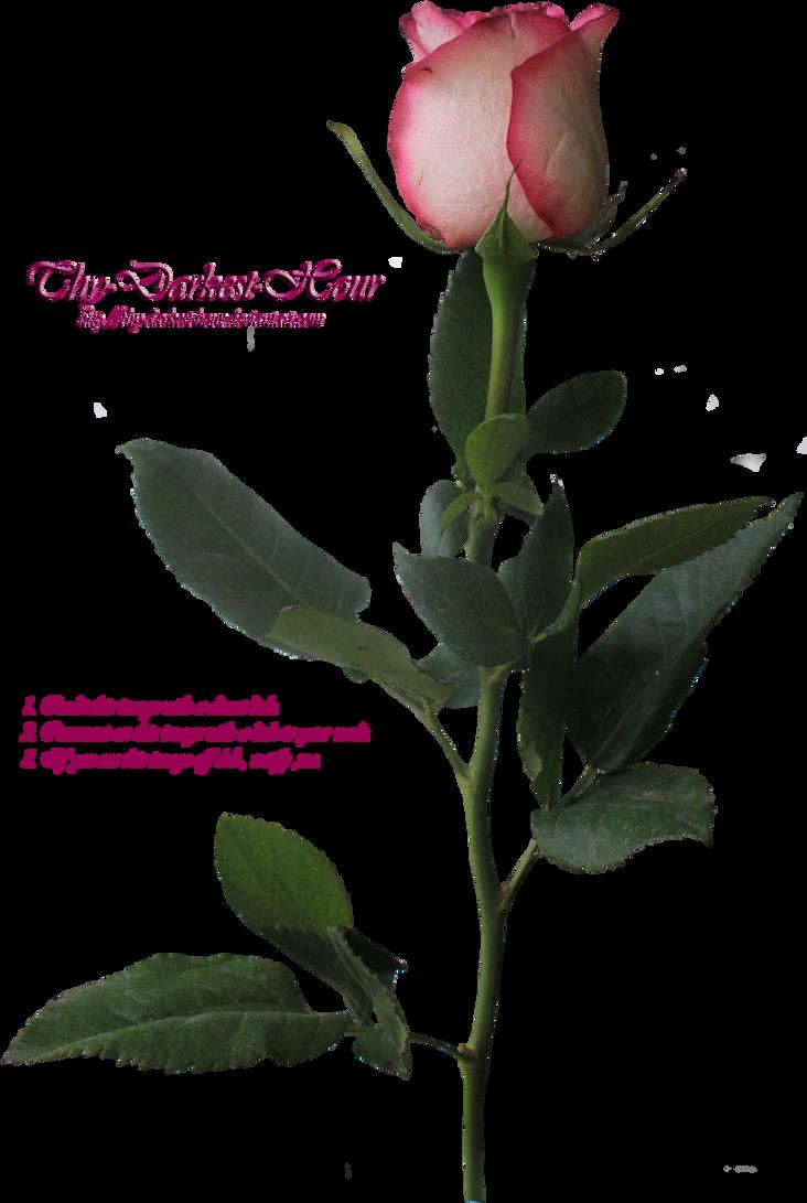 Pink Long Stemmed Rose By Thy Darkest Hour On Deviantart