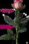 Pink Long-Stemmed Rose