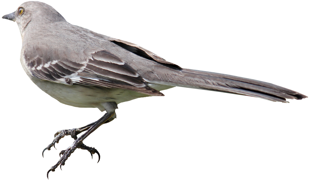 Mockingbird PNG 01 by Thy-Darkest-Hour on DeviantArt