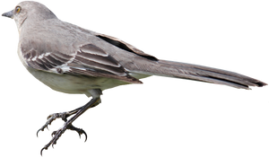 Mockingbird PNG 01