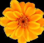 Yellow Orange Persian Zinnia