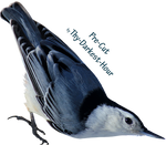 White Breasted Nuthatch PNG