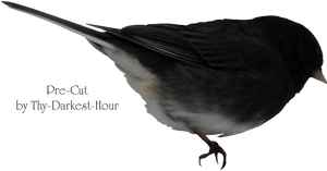 Junco Bird PNG