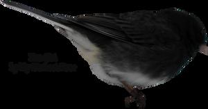 Junco Bird PNG