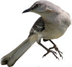 Northern Mockingbird PNG 02