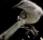 Northern Mockingbird PNG 02
