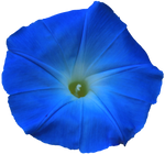 Bright Blue Morning Glory PNG