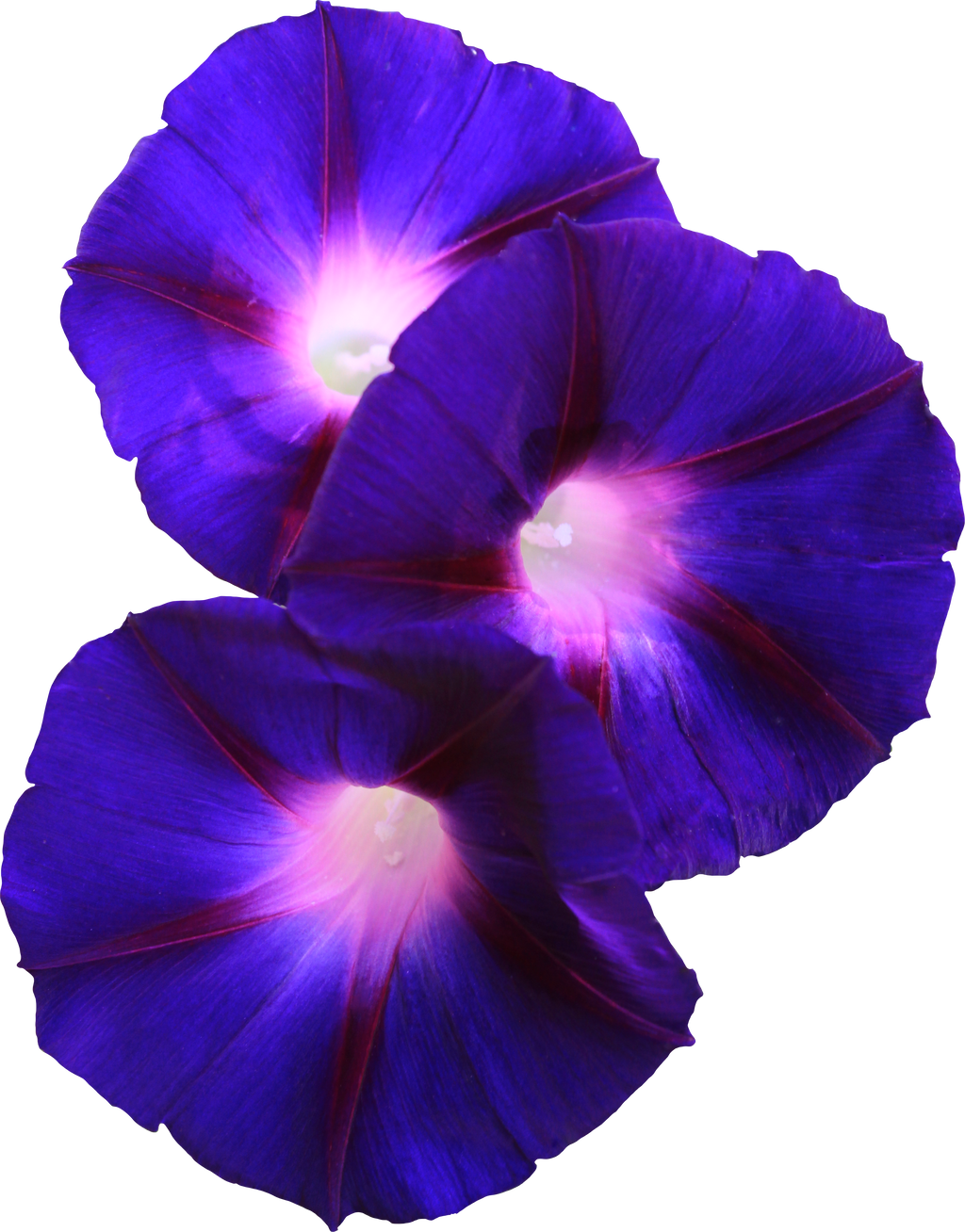 Grandpa Ott Morning Glory Png By Thy Darkest Hour On