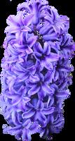Purple Hyacinth PNG by Thy-Darkest-Hour