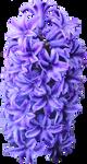 Purple Hyacinth PNG