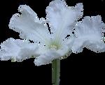 Albino Cucumber Blossom PNG