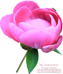 Pink Peony PNG by Thy-Darkest-Hour