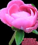 Pink Peony PNG