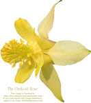 Yellow Colombine PNG