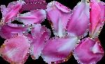 Peony Petals PNG