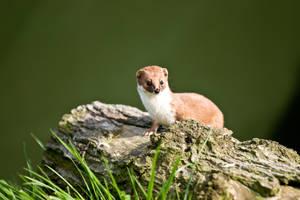 Weasel by cjchmiel