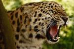 Amur Leopard by cjchmiel