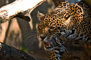 Jaguar by cjchmiel