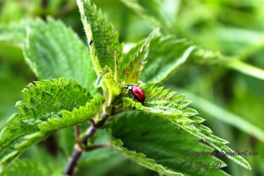 Ladybird by jessyhorse