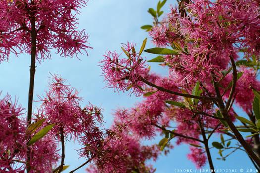 celeste y rosa