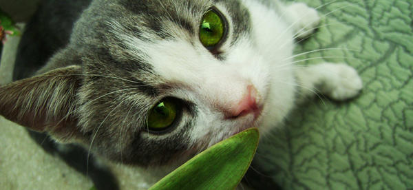 black and white cats with green eyes. A brown and white she-cat with