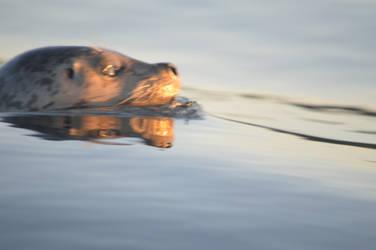 Harbor Seal (9/2/19) 01