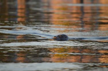 Harbor Seal (9/2/19) 02