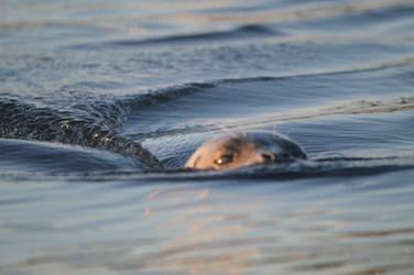 Harbor Seal (9/2/19) 03