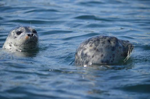 Harbor Seals (8/24/19)